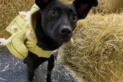 Costumed-dog-in-hay-maze-Waggls-Pet-Resort