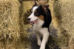 Dog-having-fun-in-hay-maze-Waggles-Pet-Resort