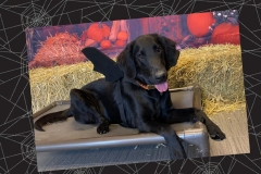 Dog-in-bat-costume-Waggles-Pet-Resort