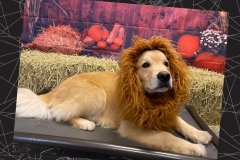 Dog-in-lion-costume-Waggles-Pet-Resort