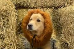Dog-in-lion-costume-going-through-hay-maze-Waggles-Pet-Resort