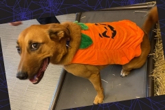 Dog-in-pumpkin-costume-Waggles-Pet-Resort