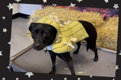 Dog-in-scarecrow-costume-Waggles-Pet-Resort