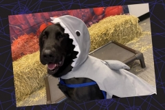 Dog-in-shark-costume-Waggles-Pet-Resort