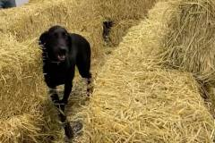 Dog-playing-in-hay-maze-Waggles-Pet-Resort