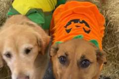 Dogs-in-costume-in-hay-maze-Waggles-Pet-Resort